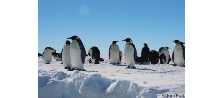 PhD position in population genomics and adaptation in penguins
